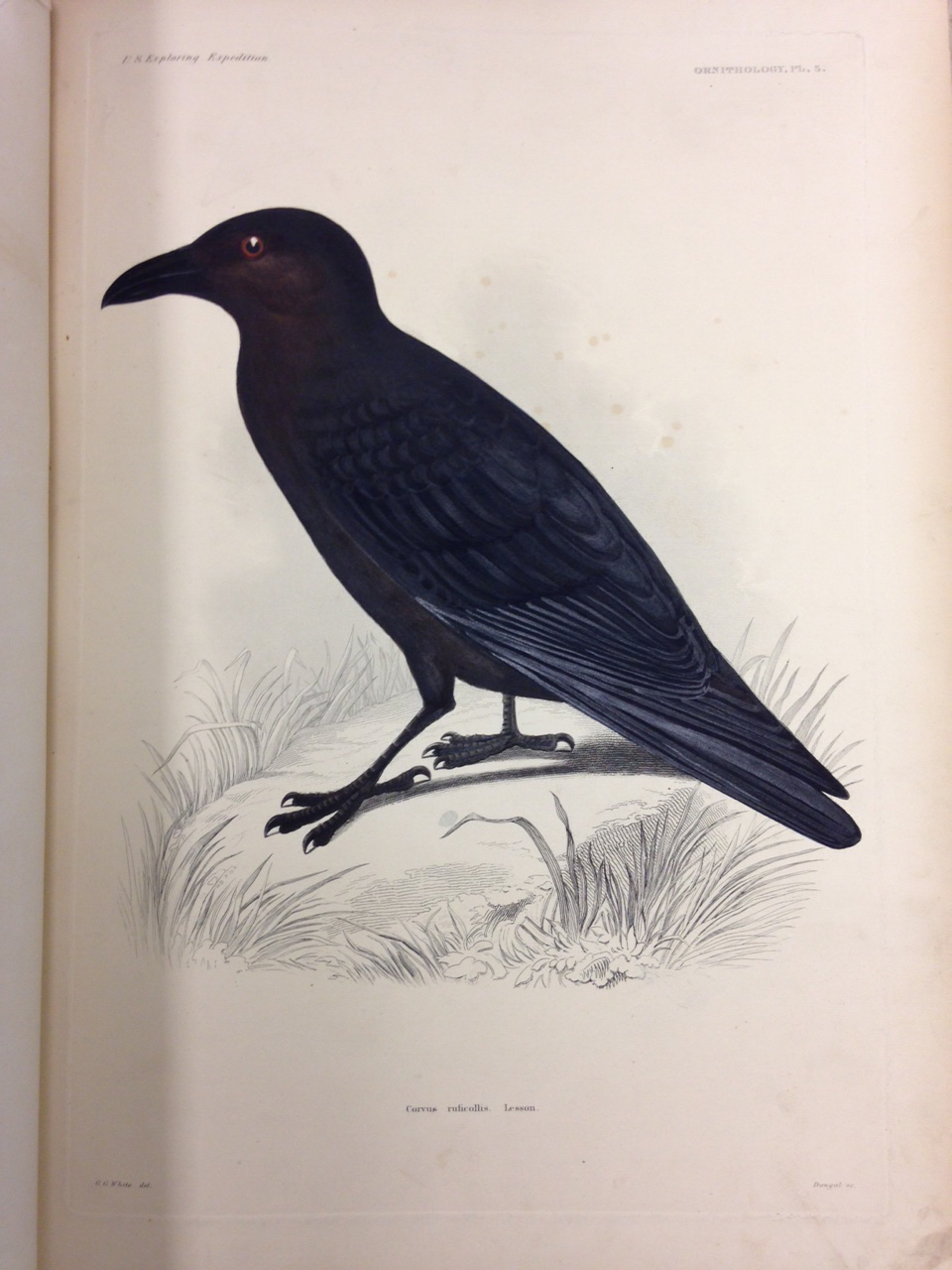 Ornithology, Plate 5: Corvus ruficollis (Brown-necked raven). – The blacks used on the feathers reflect light when viewing the plate from different angles. This is a wonderful example of how important it can be to see a real item in person for the full experience.