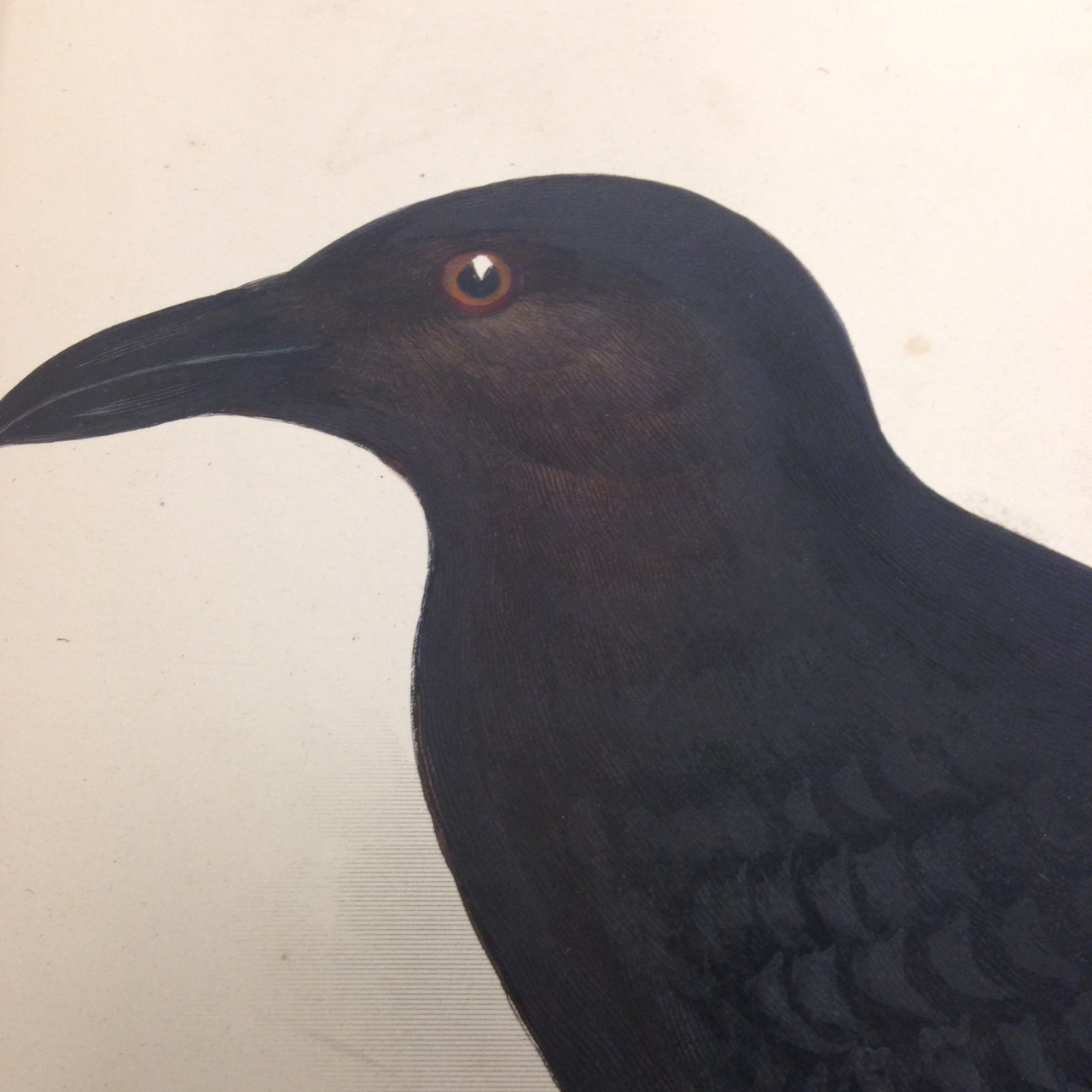 Ornithology, Plate 5: Corvus ruficollis (Brown-necked raven). – Close-up on that ever-watchful eye…No wonder Poe was wary!