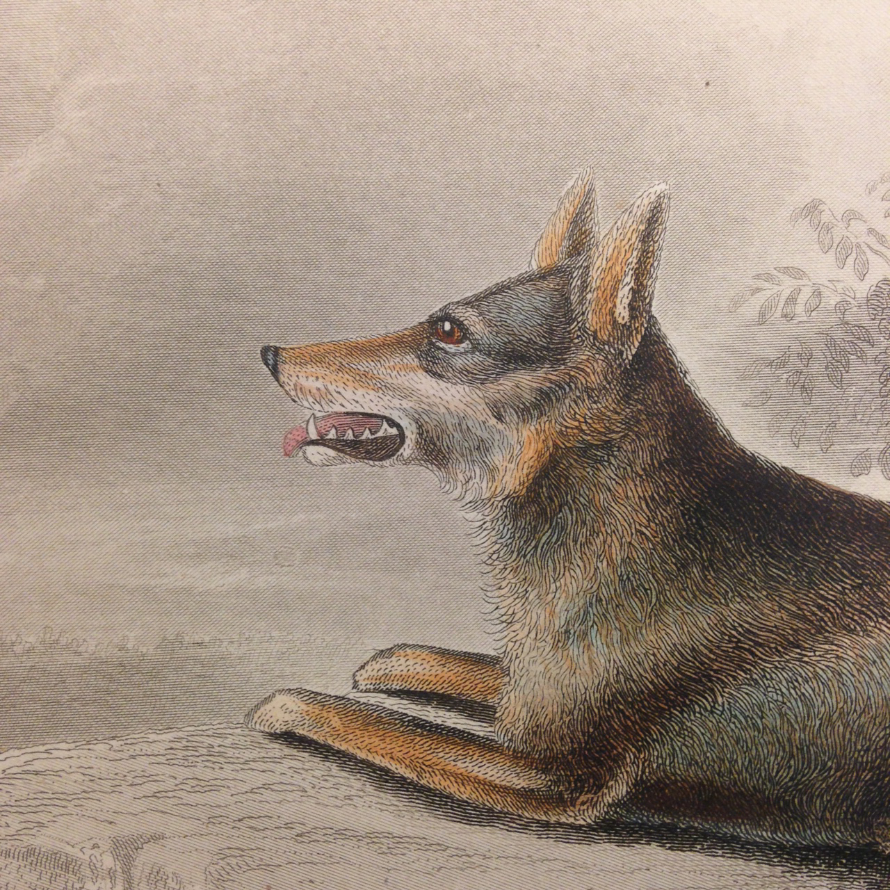 Mammalogy, Plate 3: 1. 2. Lupus occidentalis. (Northwestern wolf). – Sitting around the campfire with friends, you hear the howls and growls of wolves… Grrr….