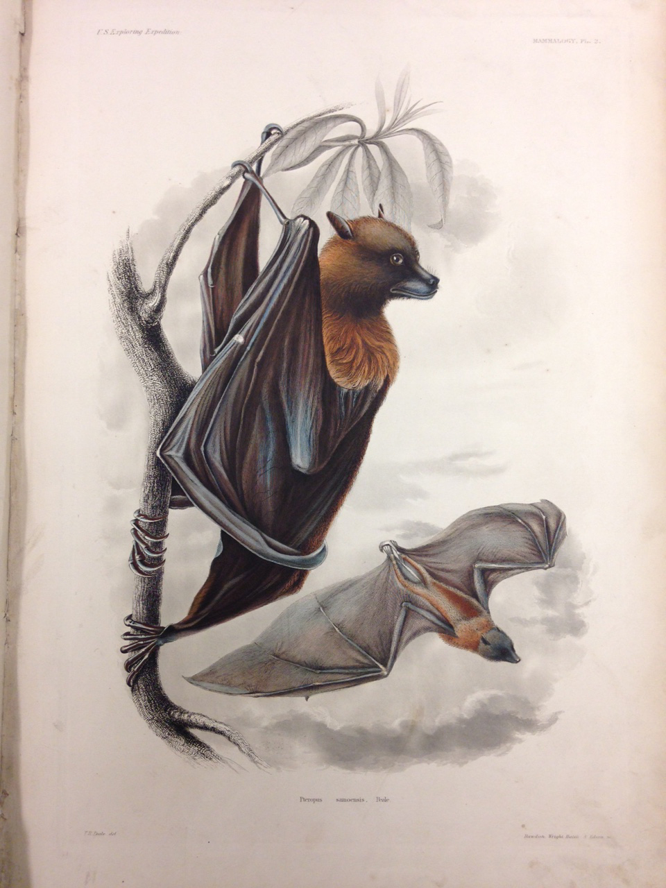 Mammalogy, Plate 2: Pteropus samoensis (Samoan Flying Fox). – They might look scary, but you can sleep easy knowing these bats are vegetarians!