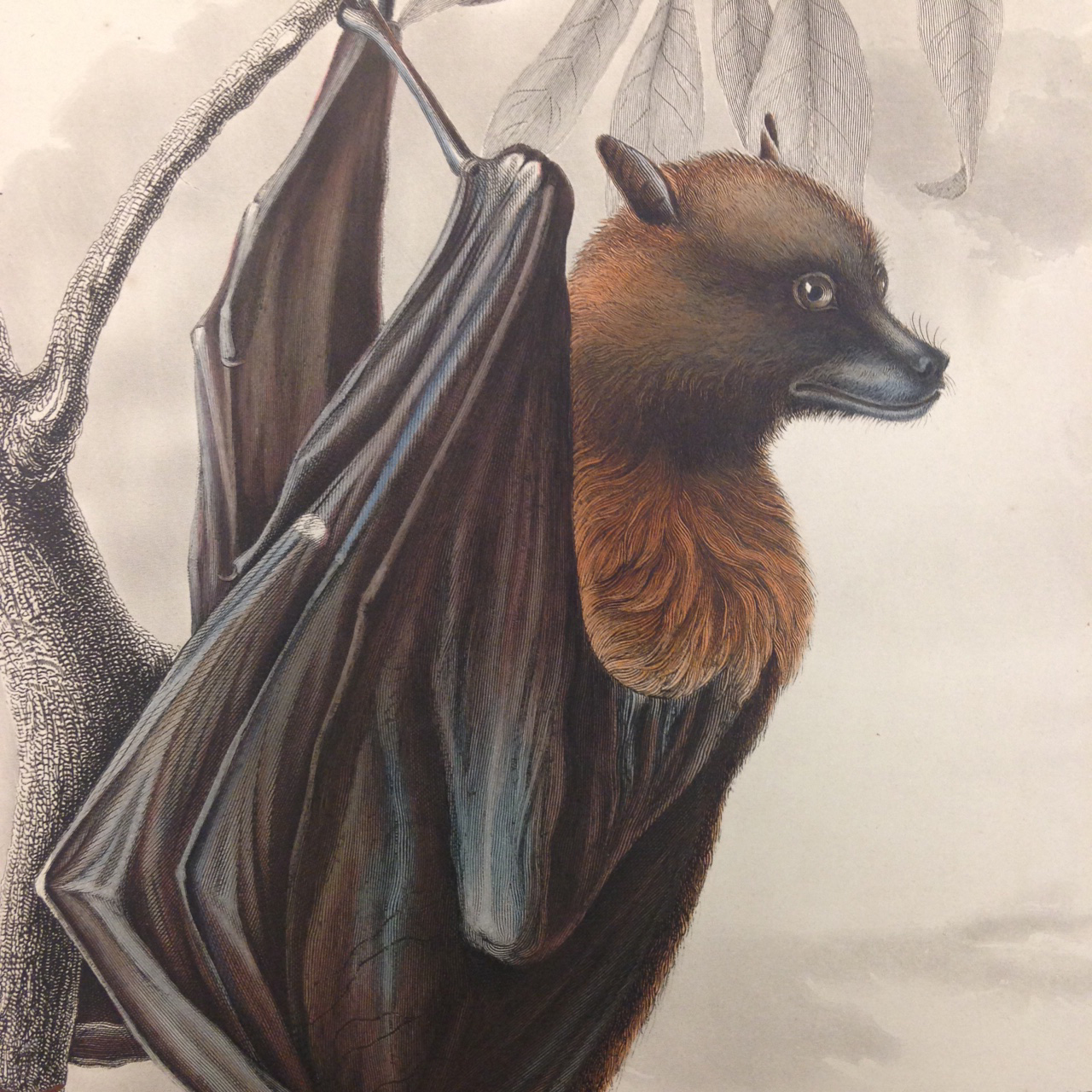 Mammalogy, Plate 2: Pteropus samoensis (Samoan Flying Fox). – Those details, though. Close observation of these plates reveals the skill and painstaking detail put into each engraved plate.