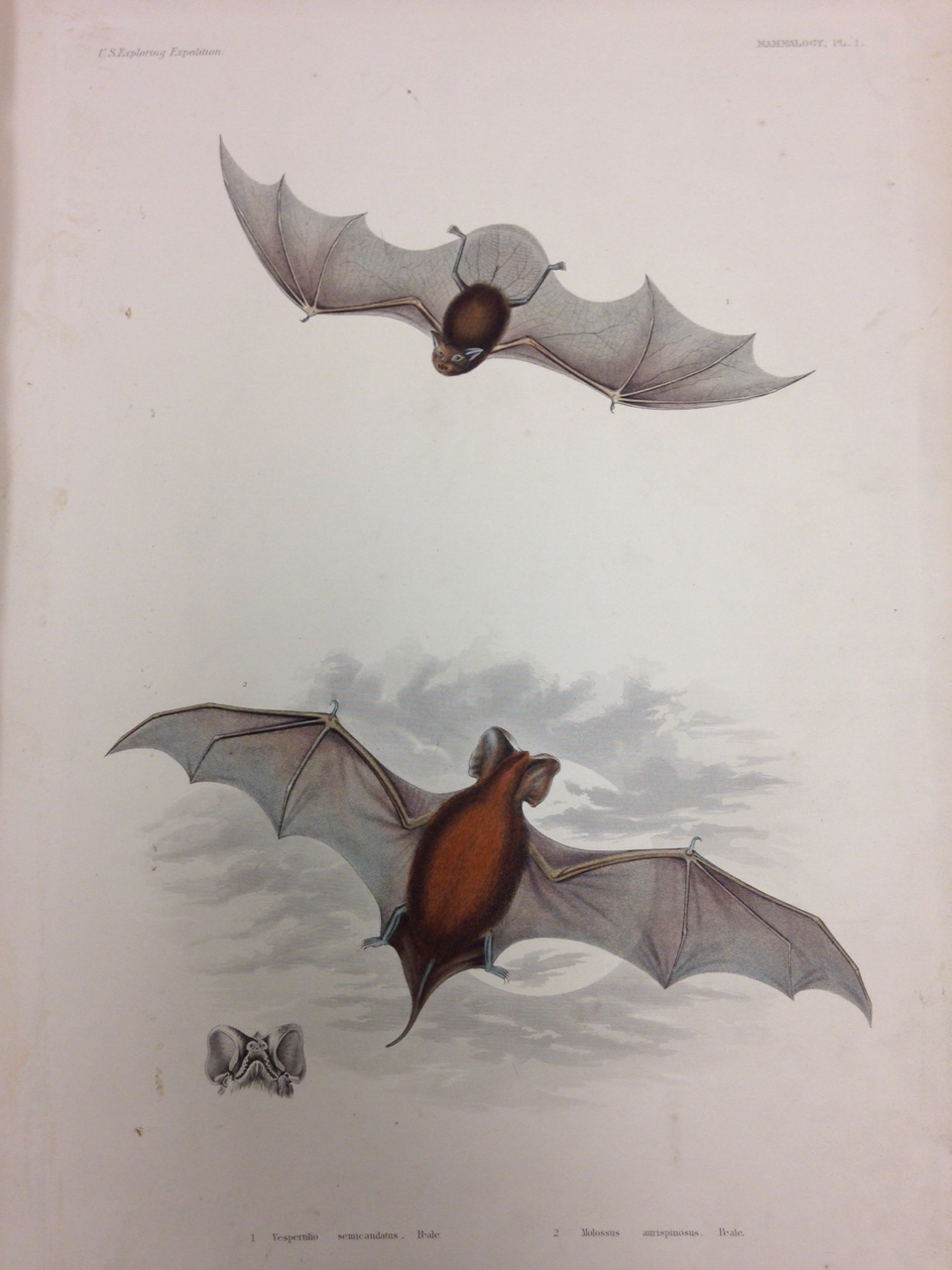 Mammalogy, Plate 1: Vespertilio semicaudatus (also known as Emballonura semicaudata semicaudata, Pacific sheath-tailed bat). – This little bat likes caves, but there appears to be no information about what they like to eat… mwahahahahaaa!